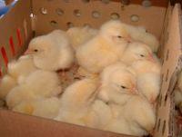 HUBBARD, MEAT BIRDS, SLOW GROWING 4 WEEKS (10.5.17)