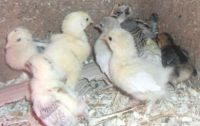 DAY OLD BANTAM CHICKS