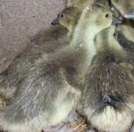 2 Touloose Goslings, 6 weeks old on 21.6/18